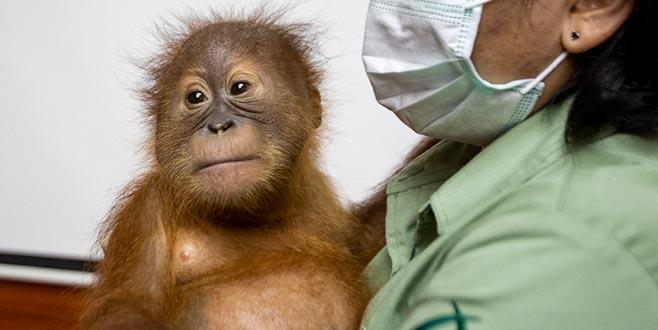 Yavru orangutan kaçırmaya çalıştı