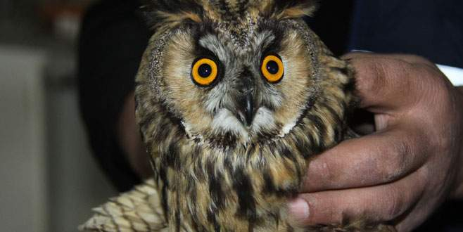 Bursa'da baykuş ve şahin avcıların hedefi oldu