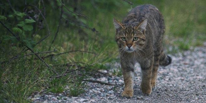 Evcil kedilerin atası Bursa'da görüntülendi
