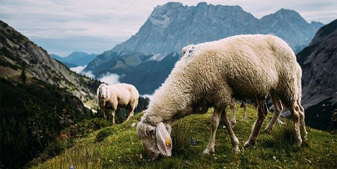 5 bin lira maaşla çoban bulunamıyor