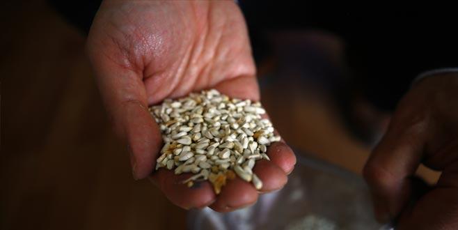 Aspirden buğdayın 3 katı gelir
