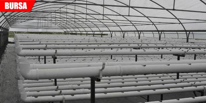 45 günde ortalama 20 bin üretiyor! Sadece suyla yetiştiriyor