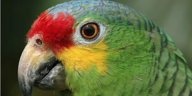 Polis uyuşturucu satıcılarıyla iş birliği yapan papağanı 'gözaltına' aldı