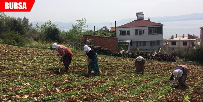 Fasulye ve kabaklar yeniden ekiliyor