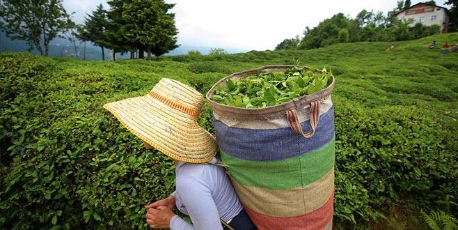 Yaş çay alım fiyatları belli oldu