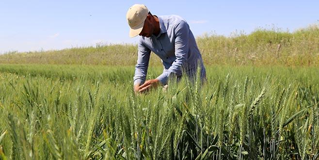 Yeni yerli buğdaylar verimi artıracak