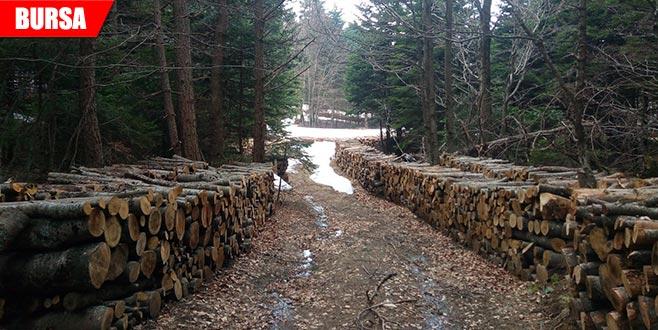 Yol bahanesiyle ağaç kesilmesine tepki