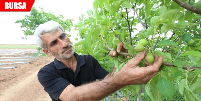 Meyve ağaçlarında don zararı