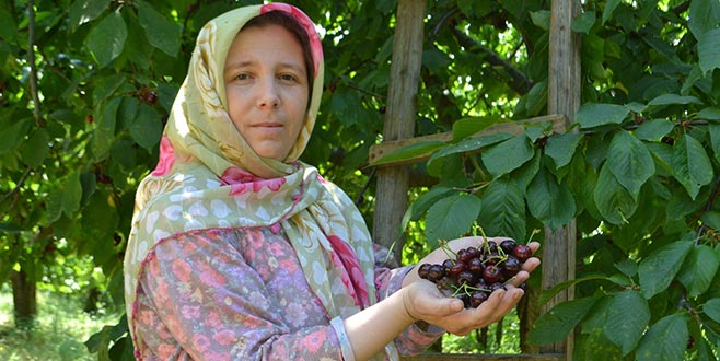 Karabodur kirazda hasat başladı