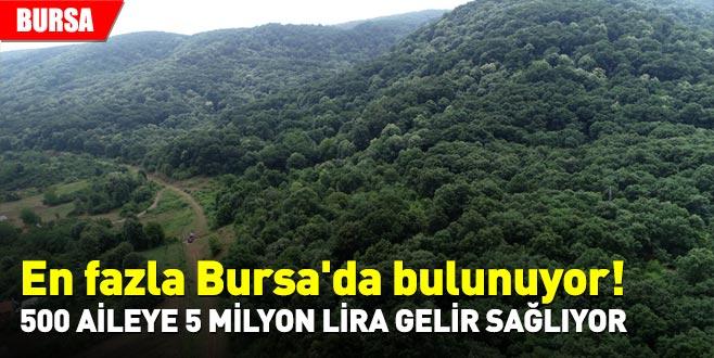 En fazla Bursa'da bulunuyor! 500 aileye 5 milyon lira gelir sağlıyor