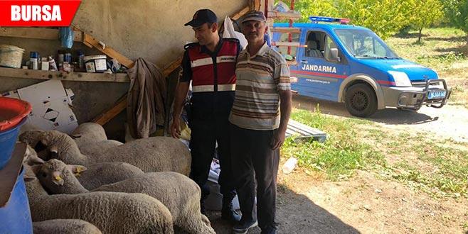 Kaybolan 25 koyunu jandarma buldu