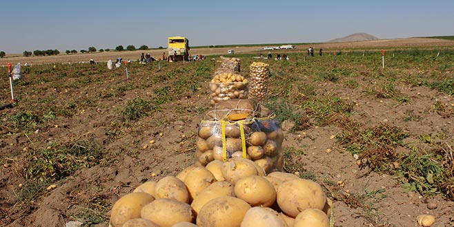 Patates üreticisinin yüzü gülüyor