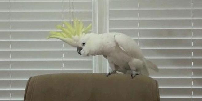 Dans eden papağan, görenleri hayran bırakıyor