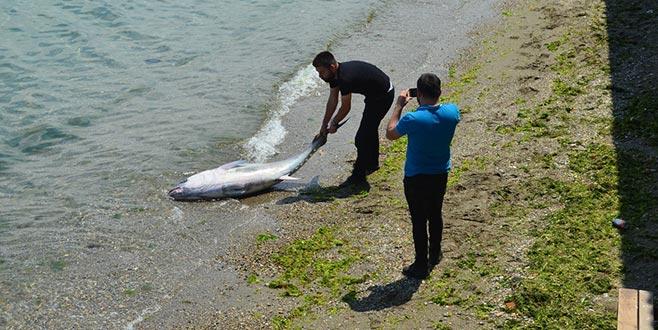 Mudanya'da yakalandı! 90 kilo ağırlığında