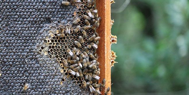 'Tarım ilaçları, arıların çiçek tercihini değiştirebiliyor'