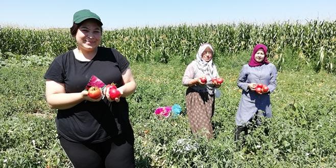 Yenişehir'de salçalık domates hasadı başladı