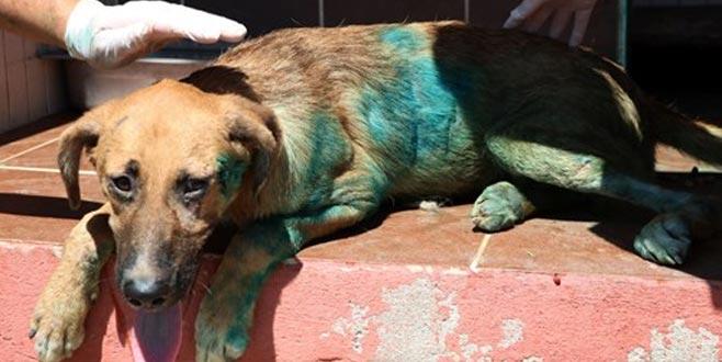 Vücuduna jiletle 'it' yazılan köpek tedavi altında
