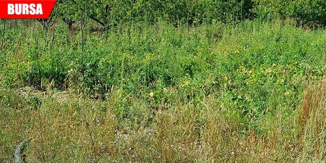 Ormanlık alanda 160 kök hint keneviri ele geçirildi