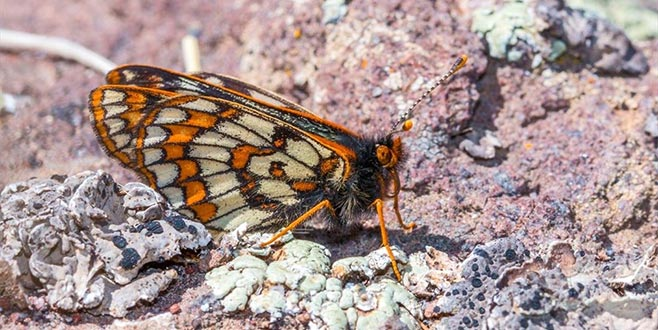 '12 bin yaşındaki' Kelebek yeniden görüntülendi
