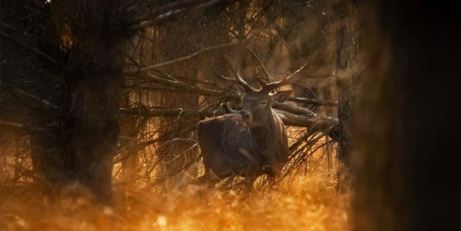 Bursa'da kızıl geyik sürprizi