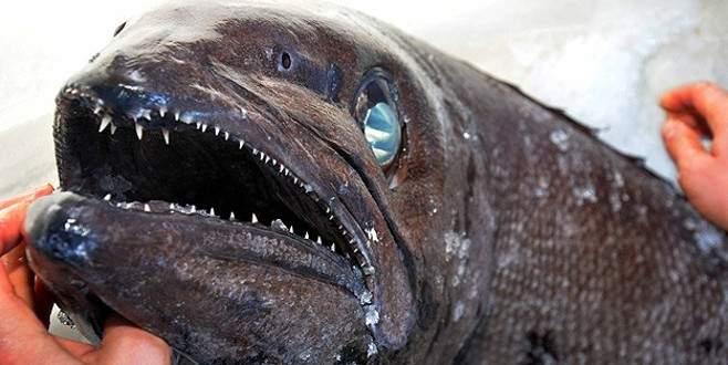 Bu balık Türkiye'de yakalandı!