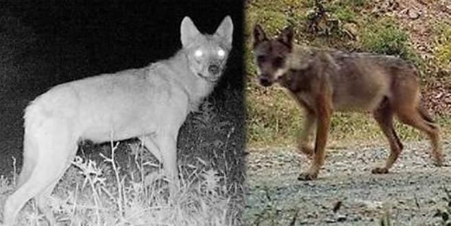 25 köpeği yiyen 'esrarengiz hayvan' böyle görüntülendi