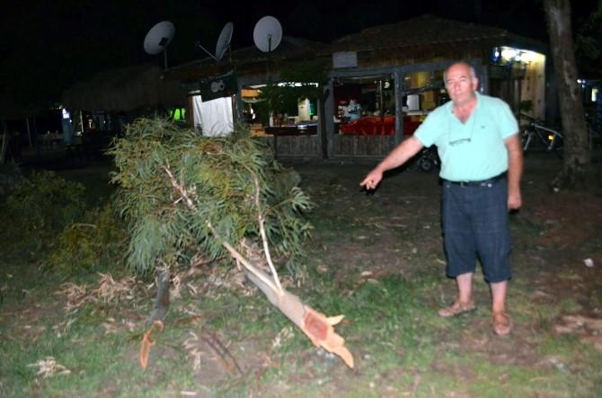 Köyceğiz'de Yaşlı Çınar Ağaçları Tehlike Saçıyor