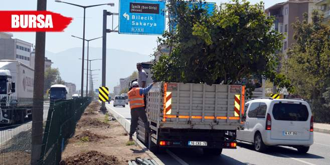 Yol kenarına 400 ağaç dikildi