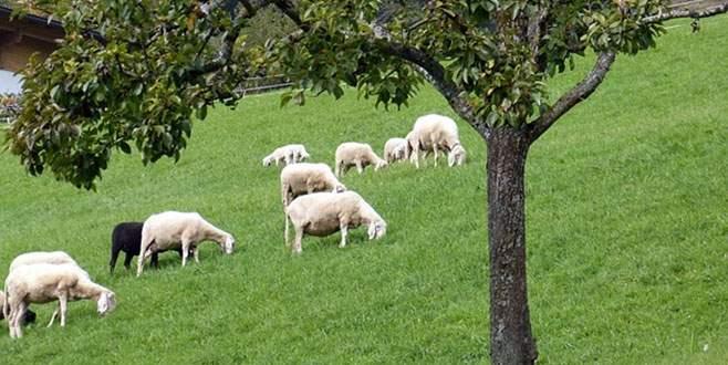 Ette çözüm keçi ve koyun