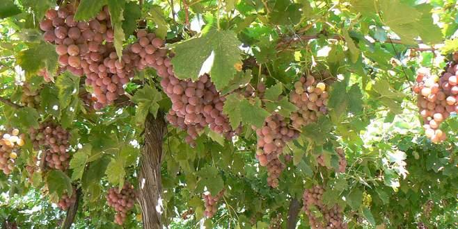 Pembe üzüme ilgi artıyor