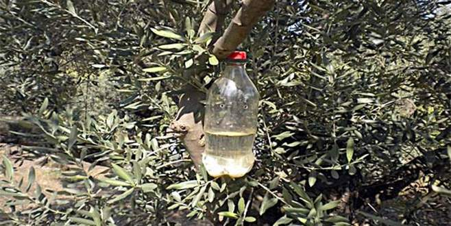 Zeytin sineğine karşı mücadele