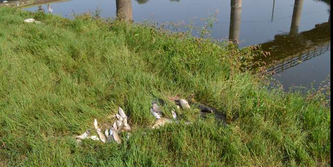Bursa'da çok sayıda ölü balık kıyıya vurdu
