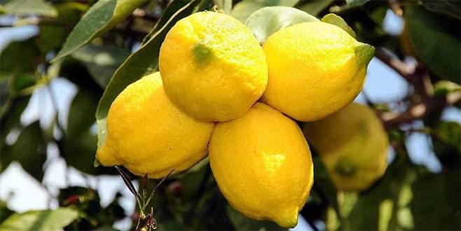 Limon 2 liradan dalından koptu