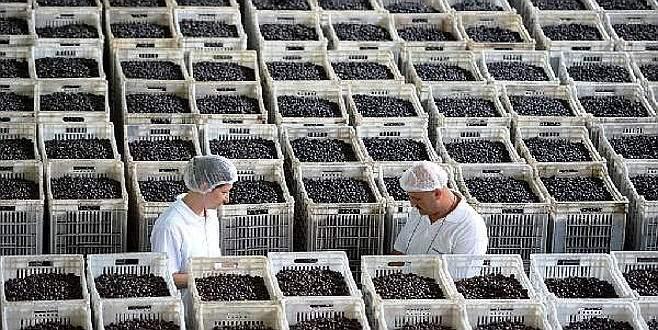Marmarabirlik, 50 bin ton alım hedefine yaklaştı