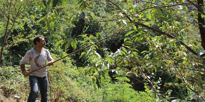 Bursa'da katil arılar 20 bin ağacı kuruttu