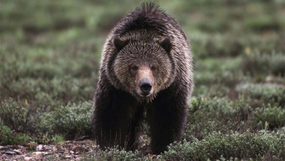 Uludağ`da esnafın başı ayılarla dertte