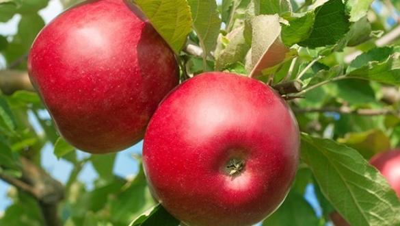 Elma rekoltesi düşecek