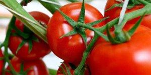 Salkım domates yüzleri güldürdü