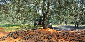 Cezaevi firarisi zeytin ağacında yakalandı