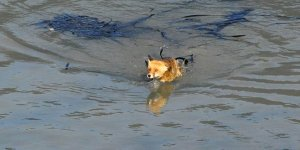Gölete düşen iki tilki için kurtarma operasyonu