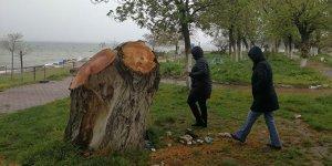 İznik'te yarım asırlık ağaçlar, polen yaydığı gerekçesiyle kesildi