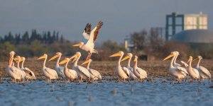 Pelikanlar için sayım zamanı