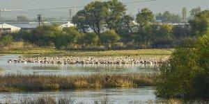 Yeni keşif: Karacabey Ak pelikanların dünyadaki en önemli dinlenme alanlarından biriymiş