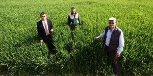 Yenişehir buğdayı mercek altında
