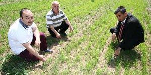 Yerli buğdaylar çiftçiye umut olacak