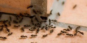 Karıncalardan kurtaran etkili yöntem!