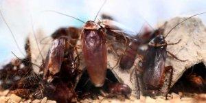 Çin'de yılda milyarlarca hamam böceği üretiliyor! İşte nedeni...