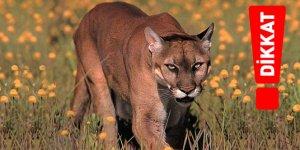 Farkına varmadan düşülen psikolojik hata: Aptal Puma Sendromu