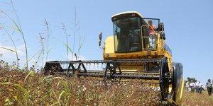 Büyükşehir'den üreticiye 'karabuğday' desteği