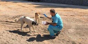 Dağ yolundaki hayvanlar ilaçlandı
